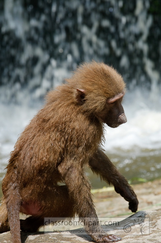 baboons_in_water_photo_7870.jpg