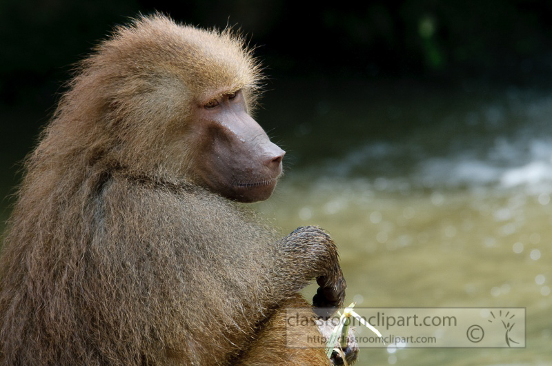 baboons_in_water_photo_7873.jpg