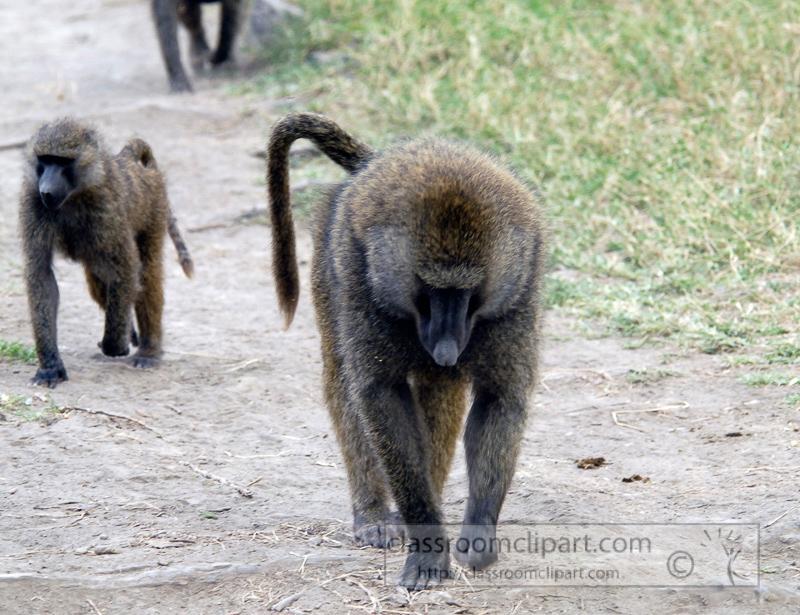 baboons_kenya_africa_photo_02.jpg