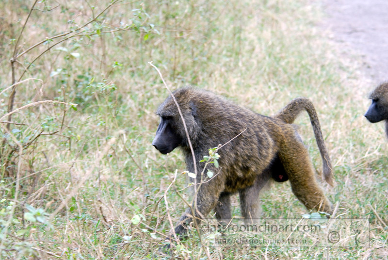baboons_kenya_africa_photo_03.jpg