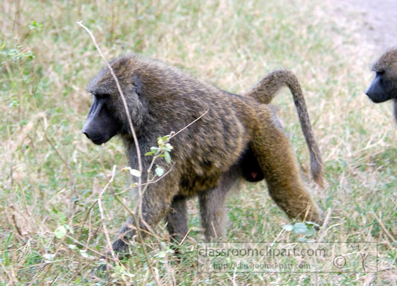 baboons_kenya_africa_photo_04.jpg