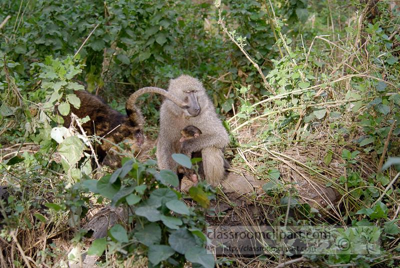 baboons_kenya_africa_photo_05.jpg