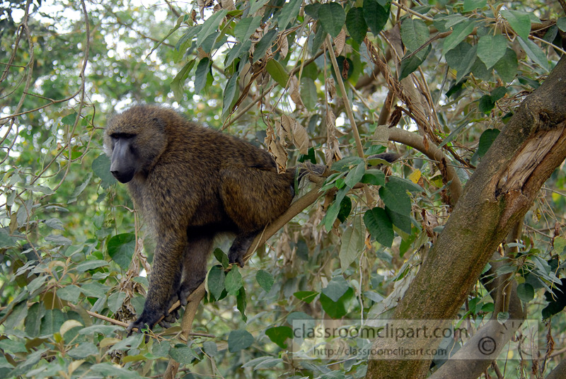 baboons_kenya_africa_photo_17.jpg