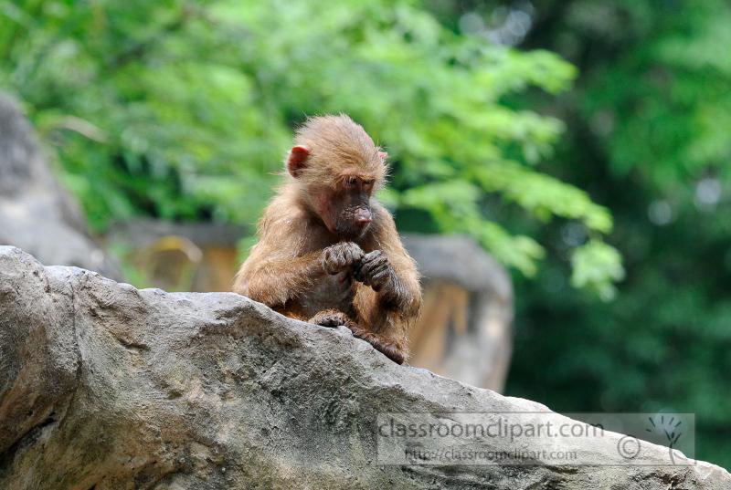 baboons_photo_7896a.jpg