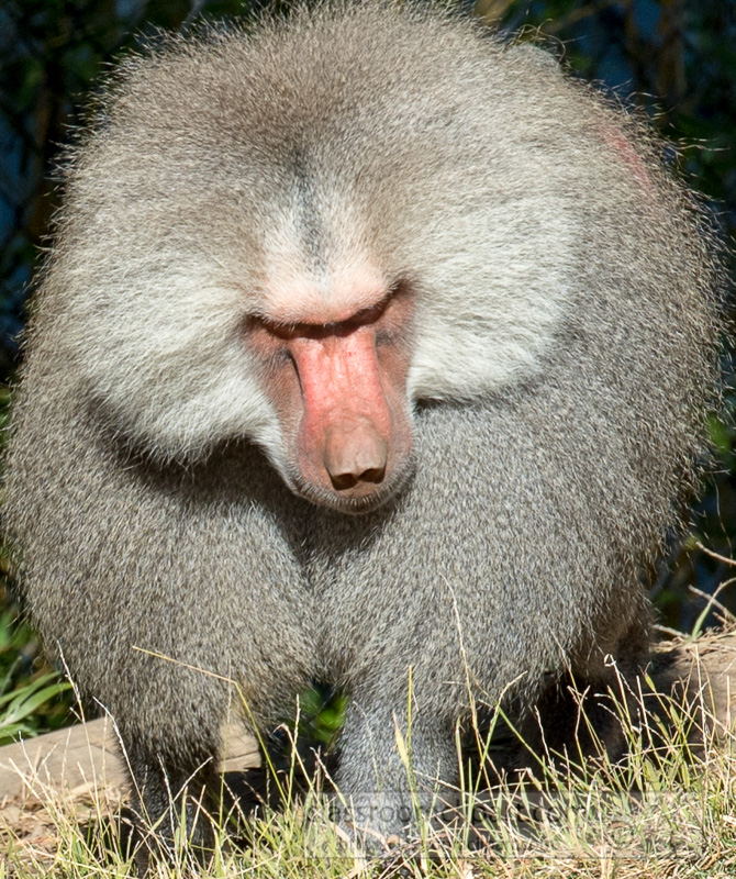photo-hamadryas-baboon-closeup-image-8640.jpg