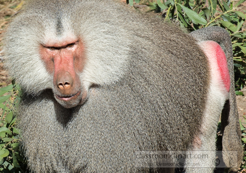 photo-male-hamadryas-baboon-closeup-image_8658E.jpg