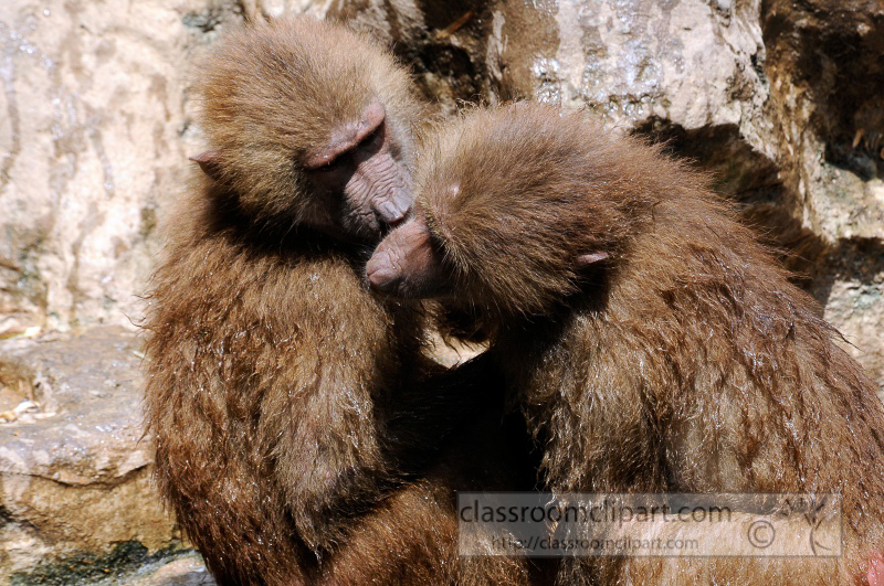 two_baboons_photo_7875a.jpg