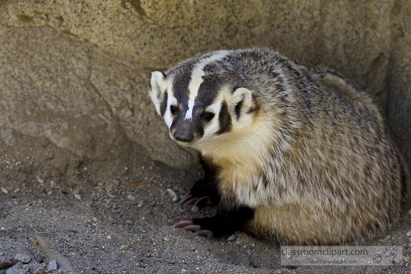 badger_796.jpg