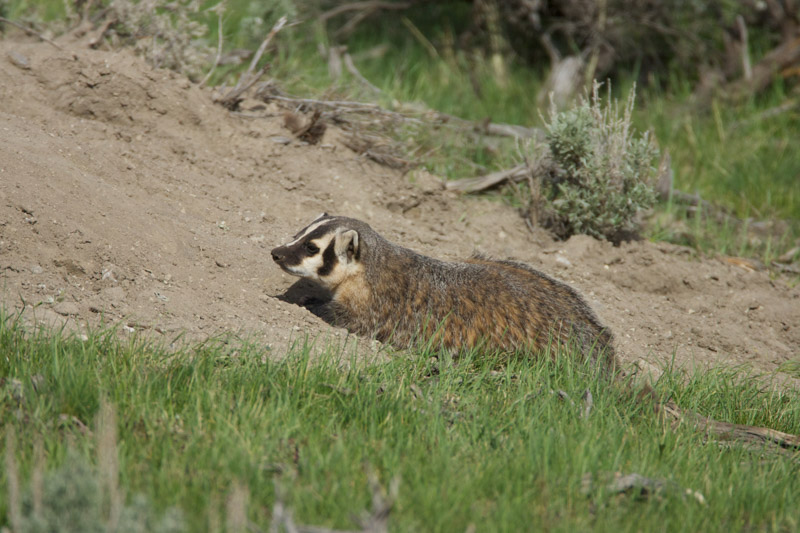 photo-american-badger-is-at-home-in-grasslands-and-woodlands-2.jpg