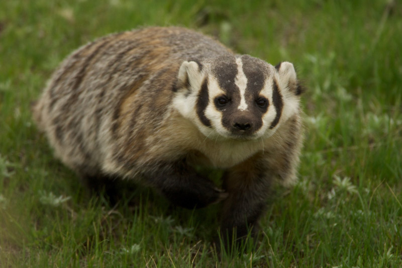 photo-american-badger-walking-in-the-grass-image.jpg