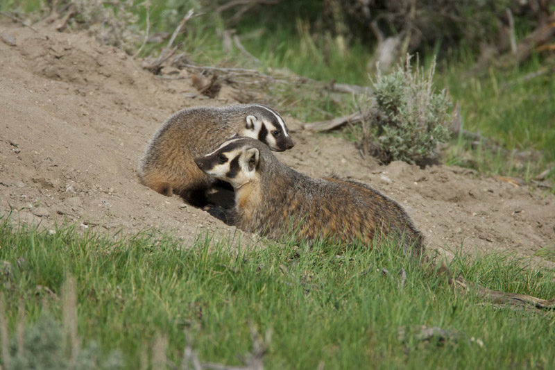 photo-two-american-badgers-image-5.jpg
