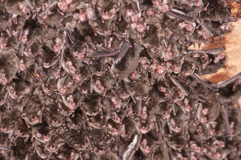 photo-clustered-southeastern-bats.jpg