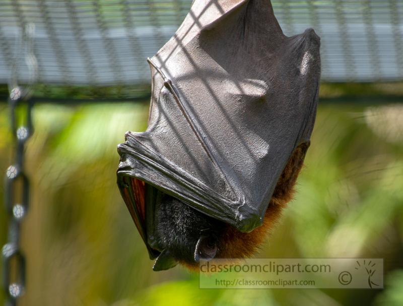 pteropus-hypomelanus-island-flying-fox-bat-photo-5069.jpg