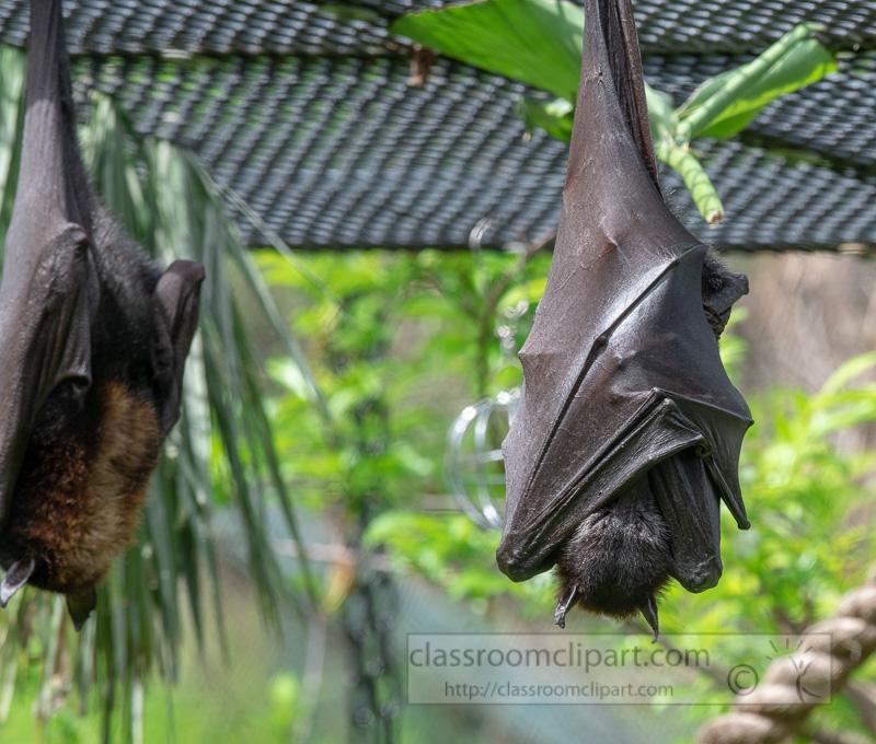 pteropus-hypomelanus-island-flying-fox-bat-photo-5075.jpg
