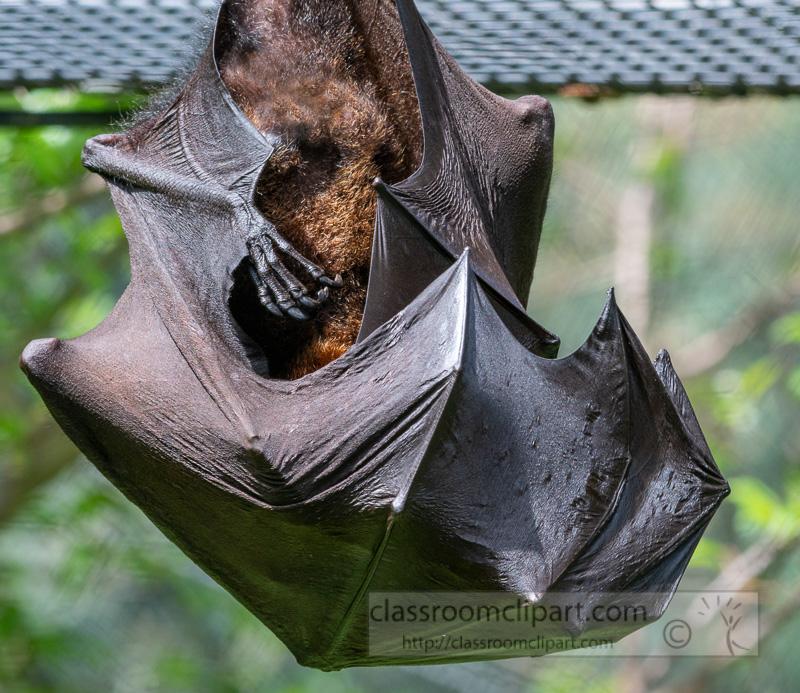 pteropus-hypomelanus-island-flying-fox-bat-photo-5097.jpg