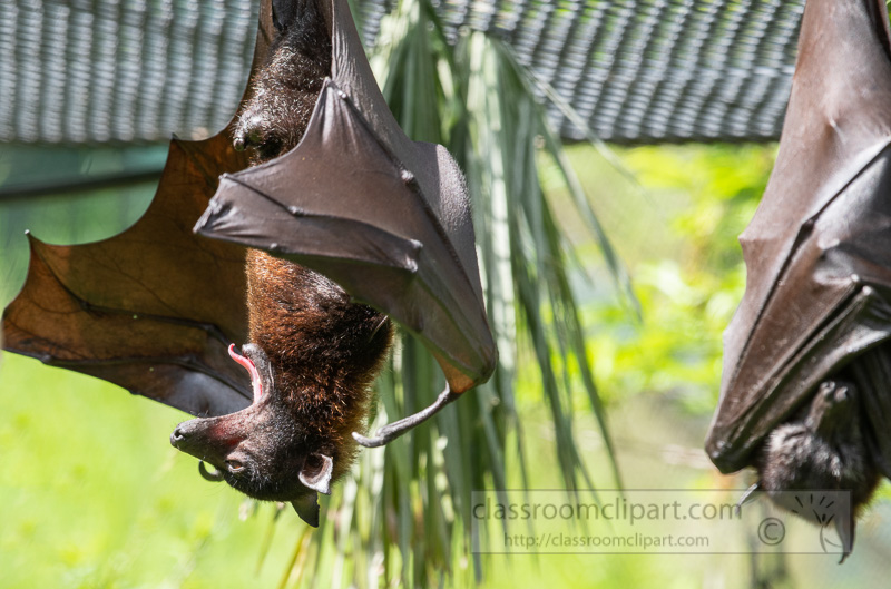 pteropus-hypomelanus-island-flying-fox-bat-photo-5126.jpg