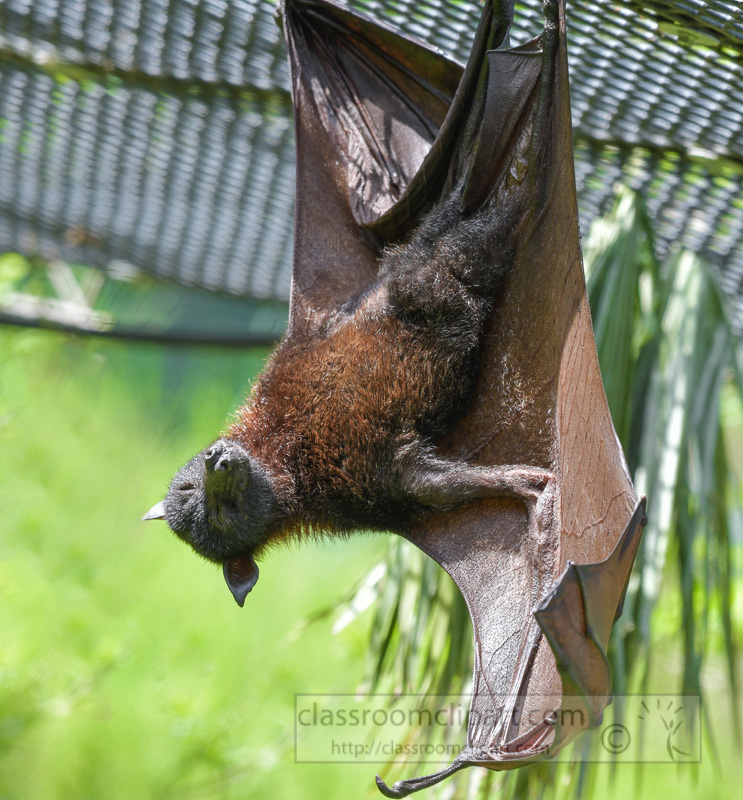 pteropus-hypomelanus-island-flying-fox-bat-photo-5146-Edit.jpg