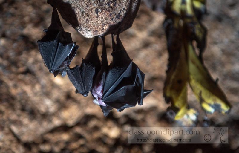 short-tailed-leaf-nosed-bat-photo-4152.jpg