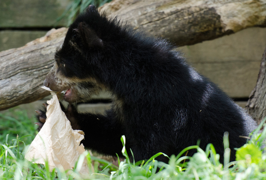 bear_cub_9381A.jpg