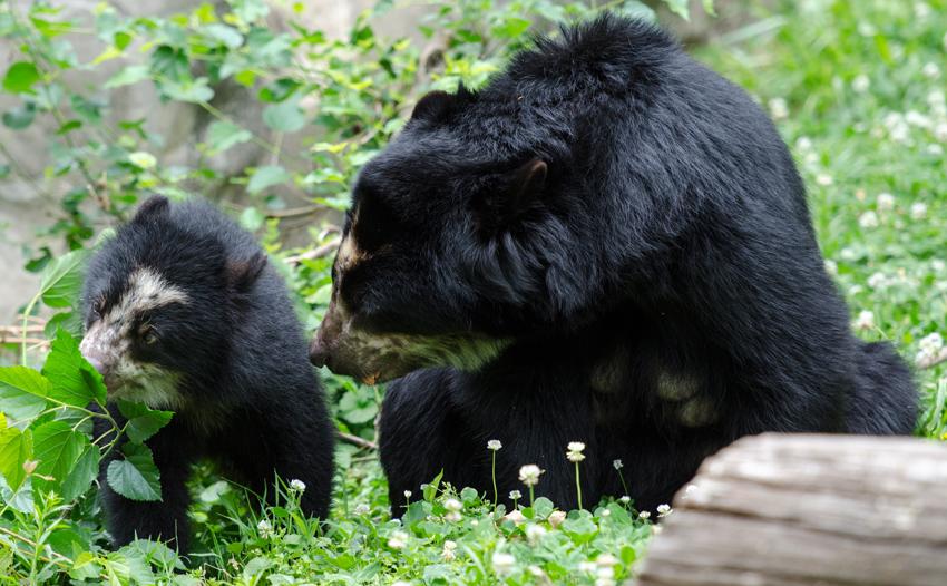 bear_cub_with_mother_31a.jpg