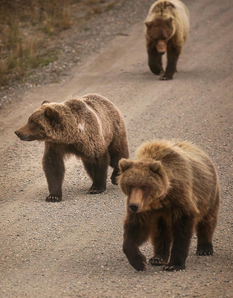 grizzley-bear-cubs-walk-along-road-in-denali.jpg