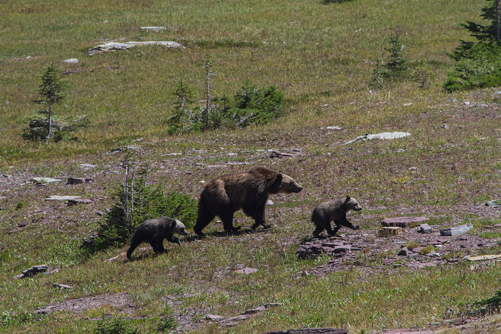 grizzly-bear-in-meadow-with-cubs.jpg