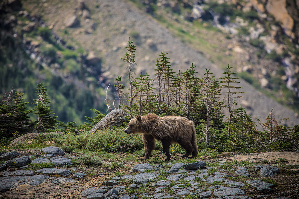 grizzly-bear-roaming-in-mountains-of-montana.jpg