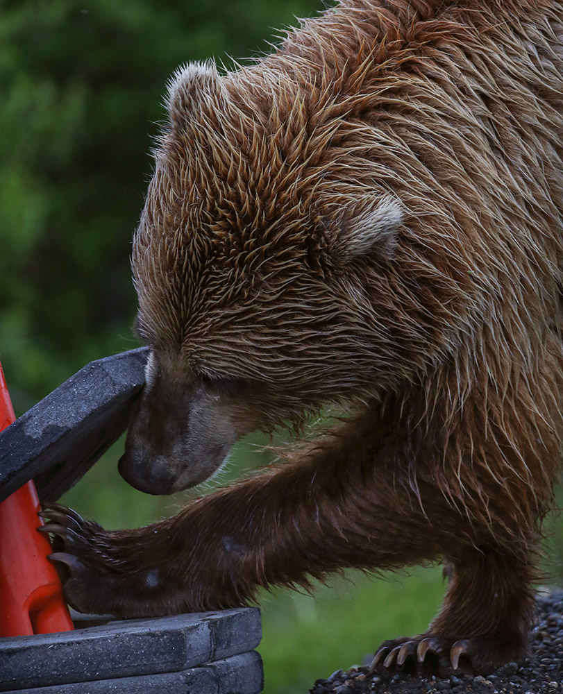 grizzly-bear-using-paws-to-scrtach-construction-equipment.jpg