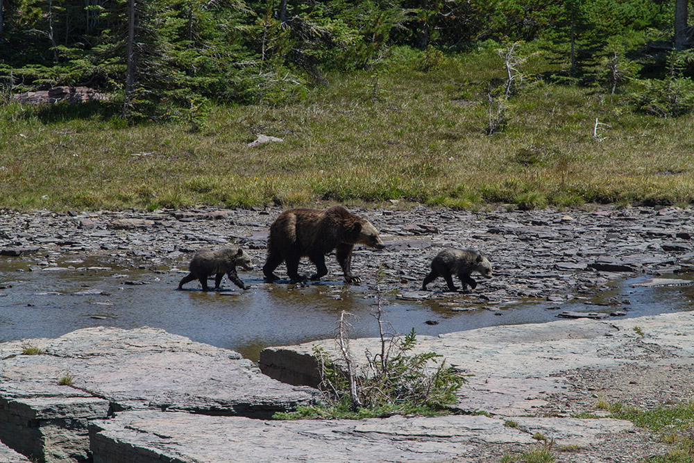 grizzly-sow-with-cubs-walking-in-stream.jpg