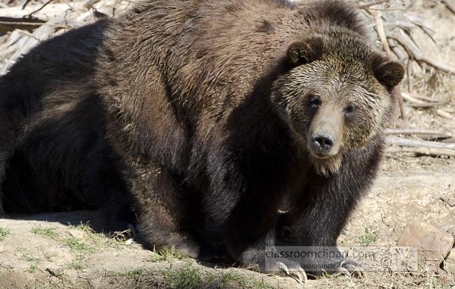 grizzly_bear_16.jpg