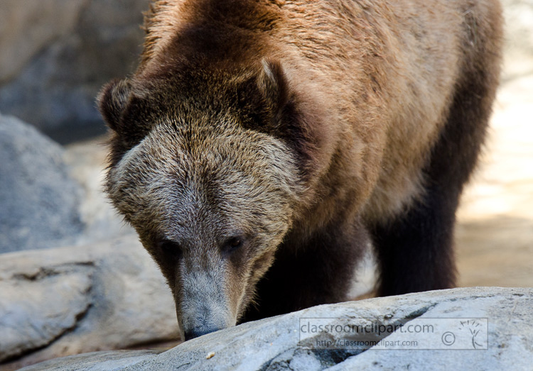 grizzly_bear_509.jpg