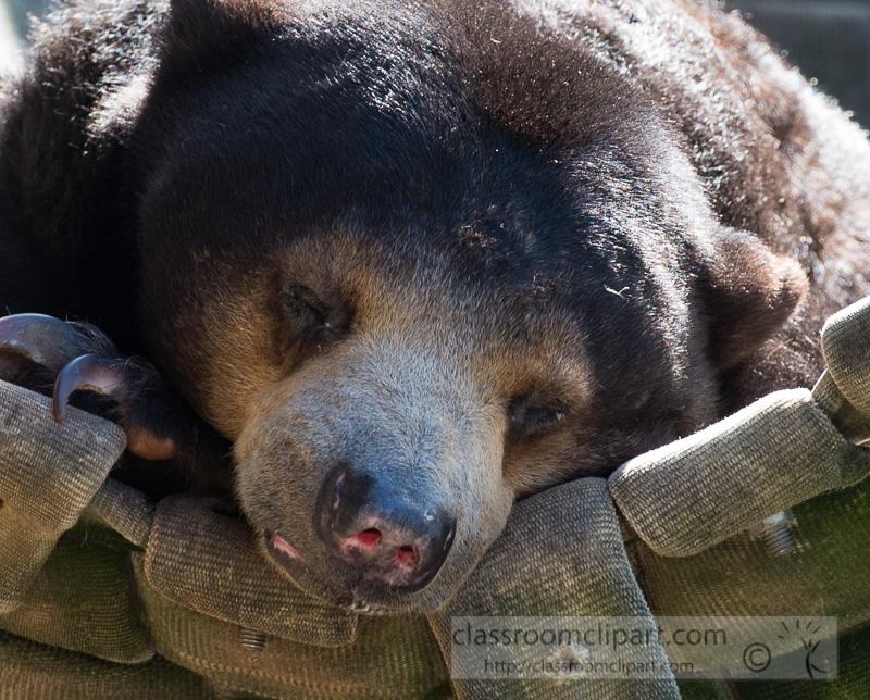 omnivorous-sun-bear-photo_8350EE.jpg