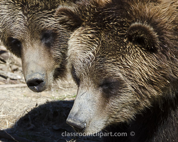 two_grizzly_bear_faces.jpg