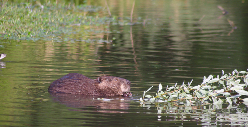 Beaver-eating-at-summer-lake-oregon-photo.jpg