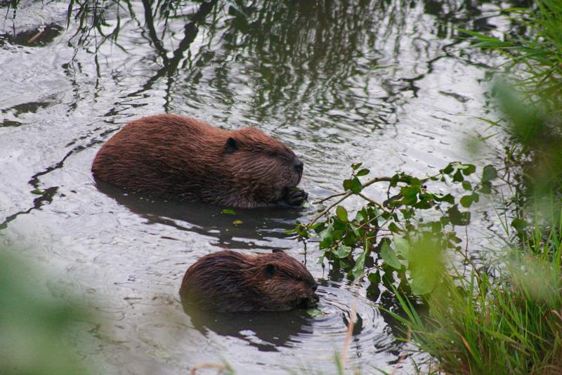 adult-juvinelle-beaver-photo.jpg
