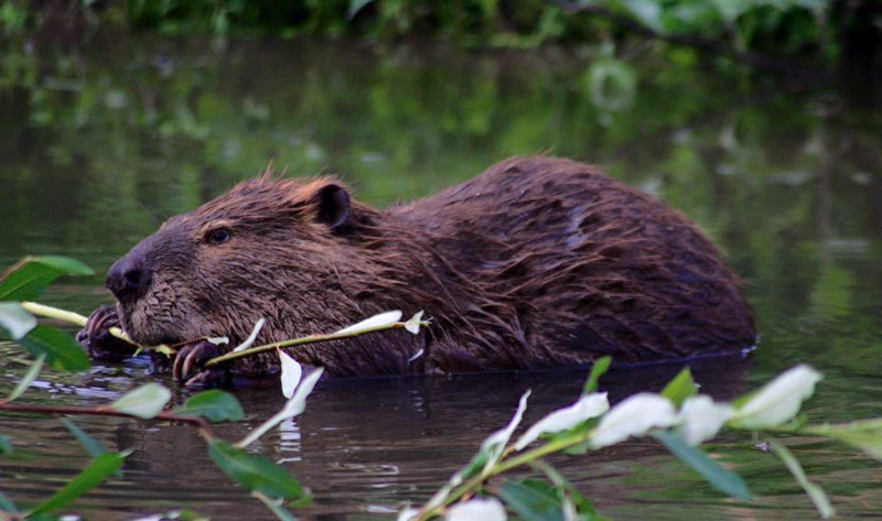 beaver-eating-twig-photo-image.jpg