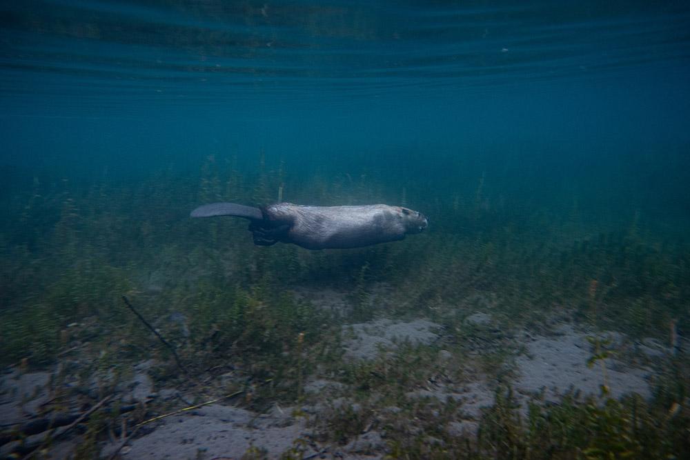beaver-swimming-underwater.jpg