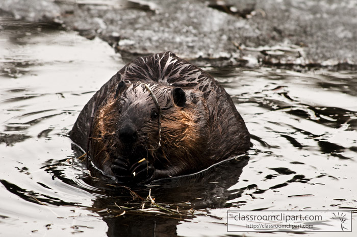 beaver_alaska.jpg