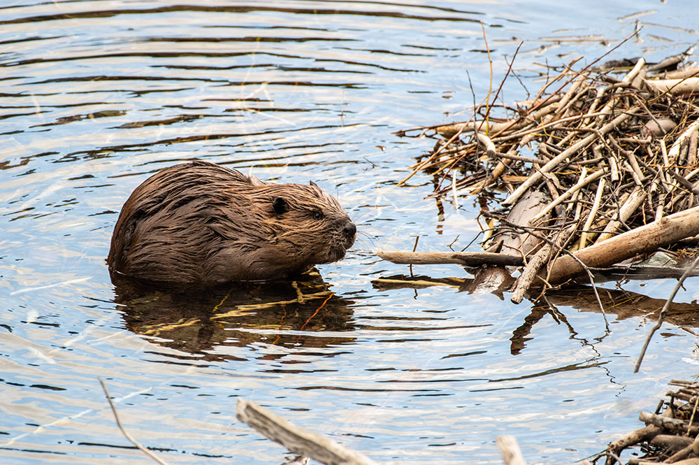 north-american-beaver-lake-glacier-national-park.jpg