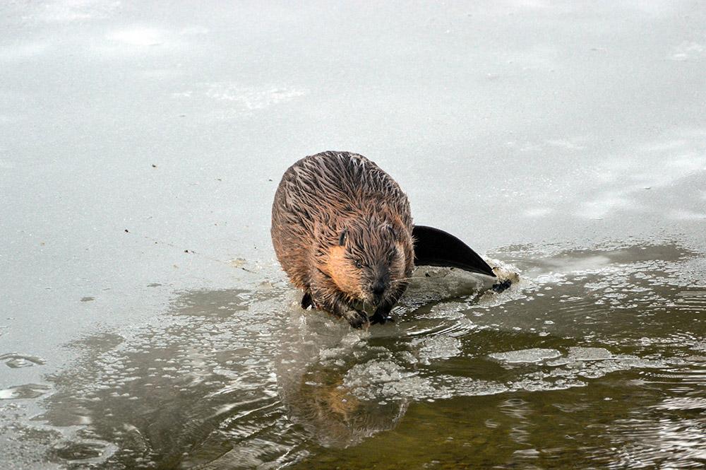 north-american-beaver-on-lake-edge.jpg