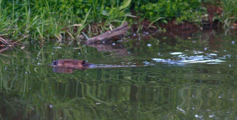 photo-of-Beaver-swimming-in-lake.jpg