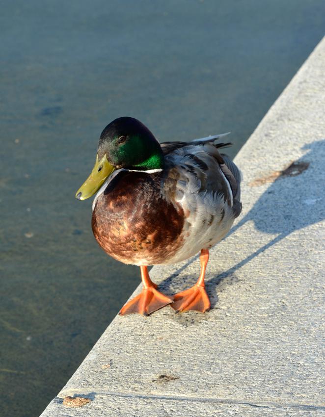 ducks_8919A.jpg