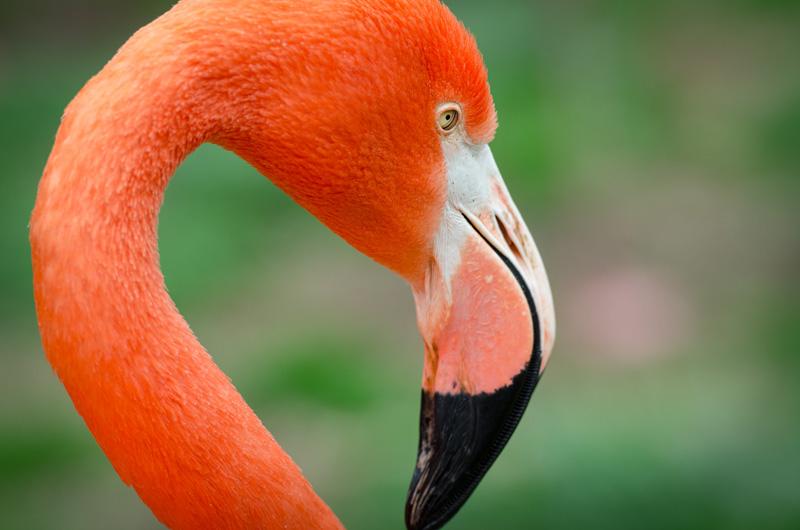 flamingo-bird-closeup-photo-3823.jpg