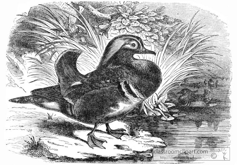 bird-illustration-duck-11.jpg