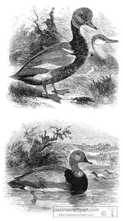 bird-illustration-duck-13.jpg