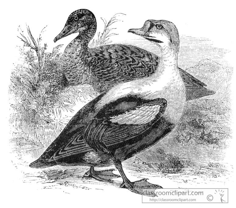 bird-illustration-duck-18.jpg