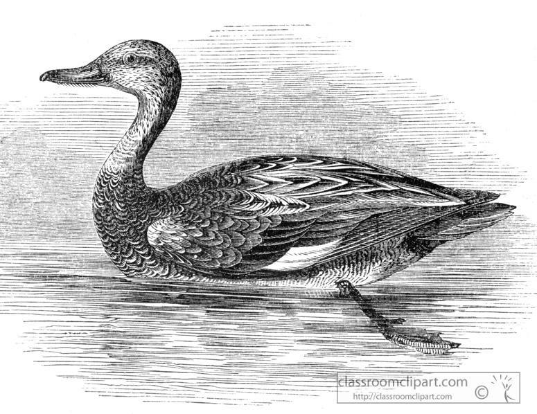 bird-illustration-ducks-11.jpg