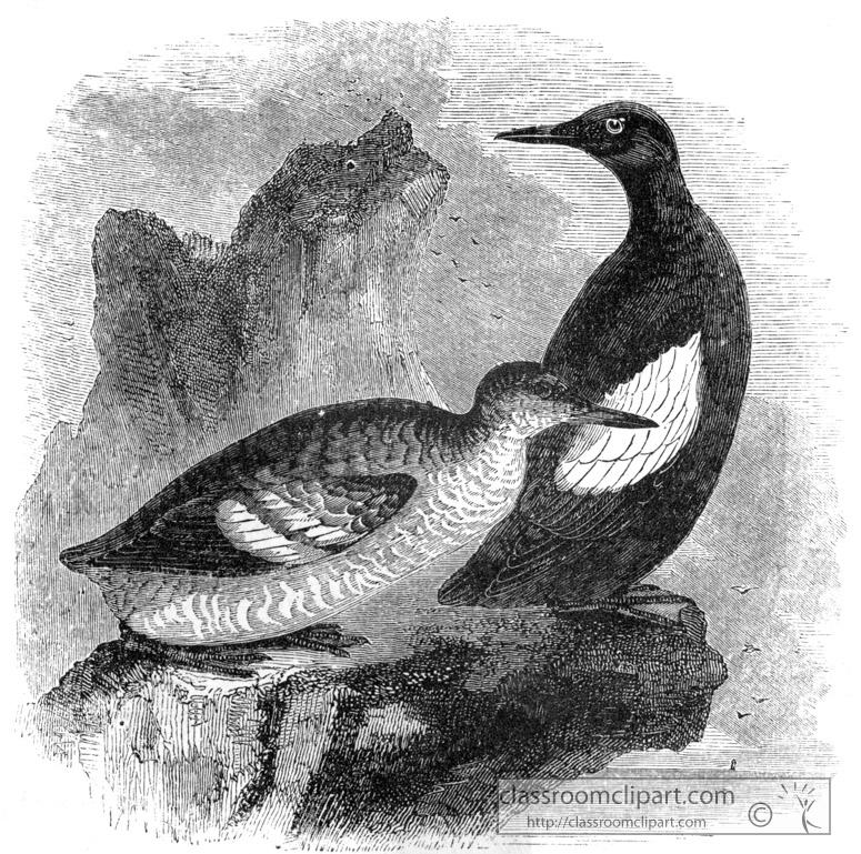 bird-illustration-guillemont.jpg