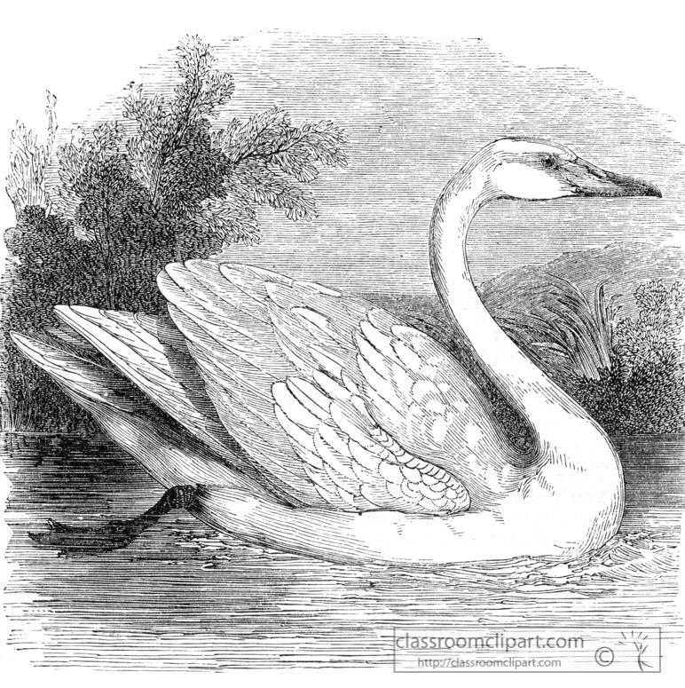 bird-illustration-swan.jpg