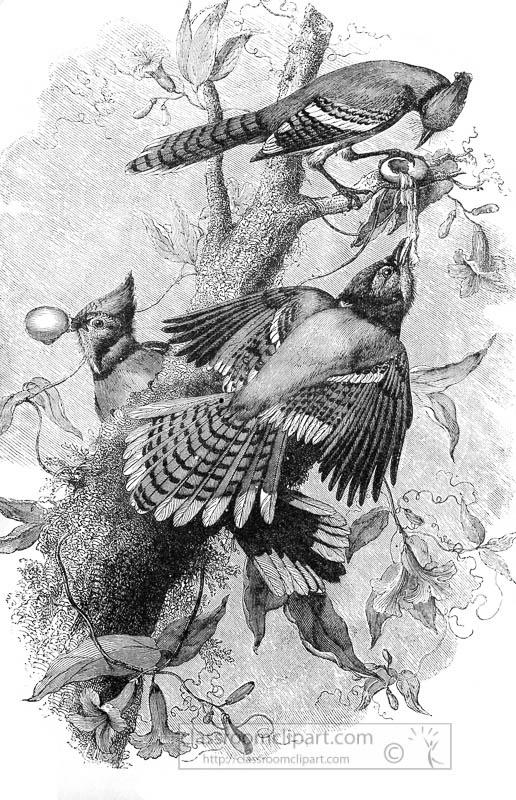 blue-jays-bird-illustration.jpg